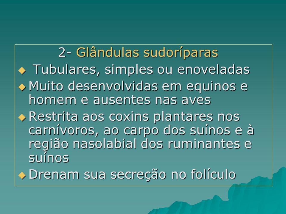 2- Glândulas sudoríparas
