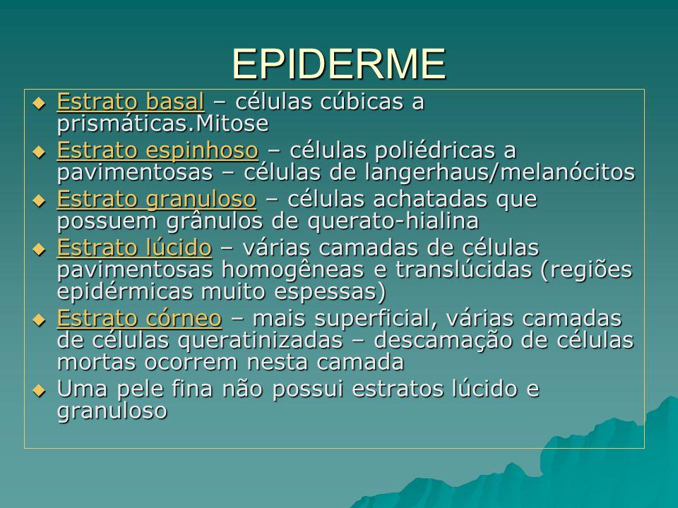 EPIDERME Estrato basal – células cúbicas a prismáticas.Mitose