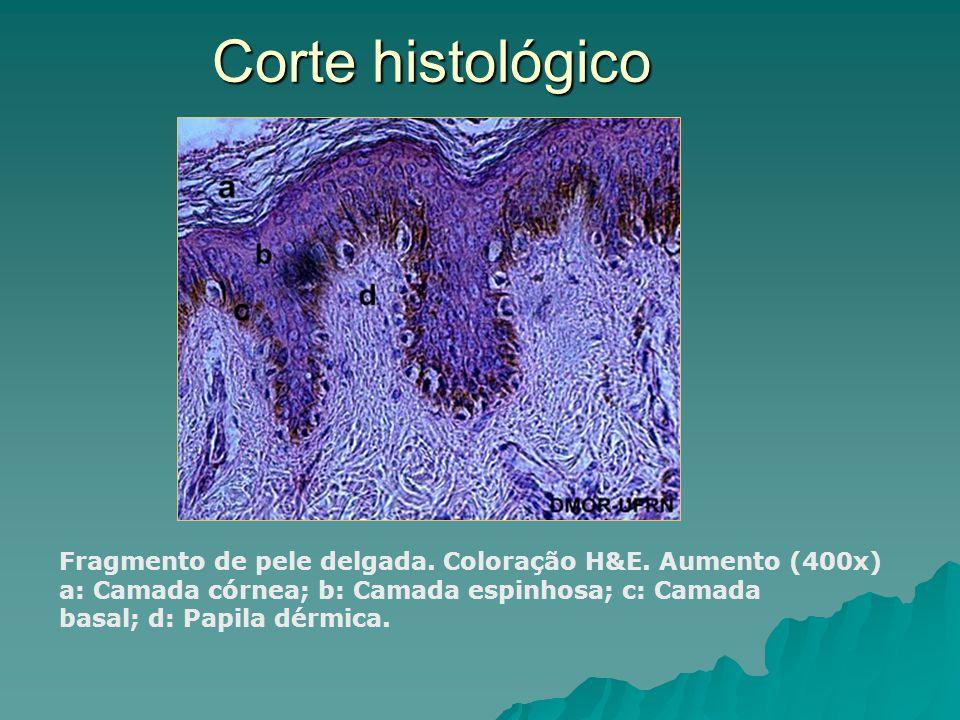Corte histológico Fragmento de pele delgada. Coloração H&E. Aumento (400x)