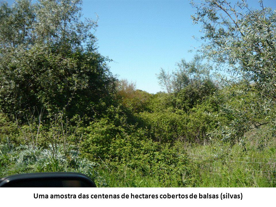 Uma amostra das centenas de hectares cobertos de balsas (silvas)