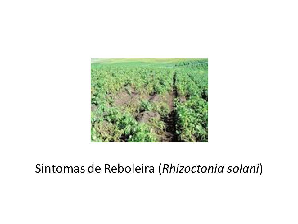 Sintomas de Reboleira (Rhizoctonia solani)
