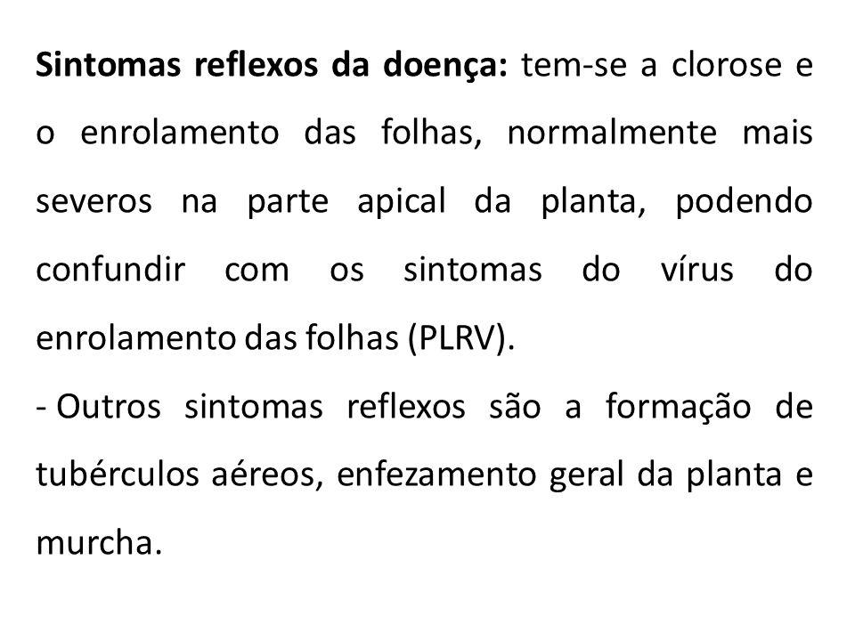 Sintomas reflexos da doença: tem-se a clorose e o enrolamento das folhas, normalmente mais severos na parte apical da planta, podendo confundir com os sintomas do vírus do enrolamento das folhas (PLRV).