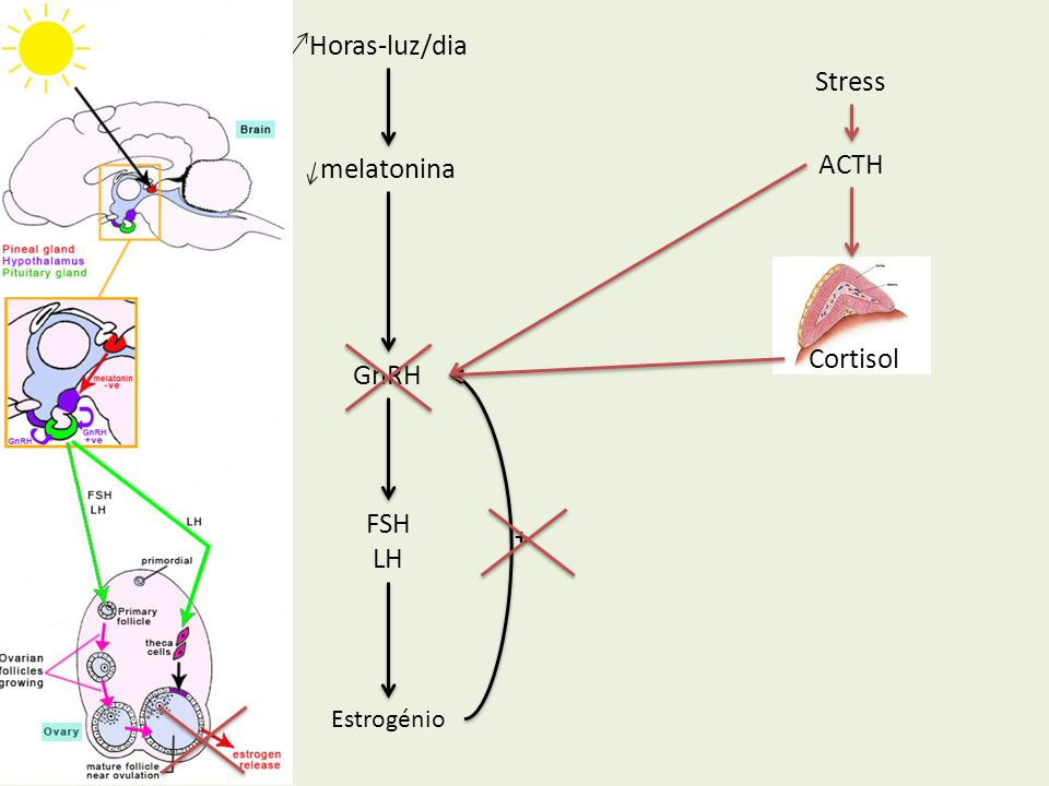 Horas-luz/dia Stress melatonina ACTH Cortisol GnRH FSH LH + Estrogénio