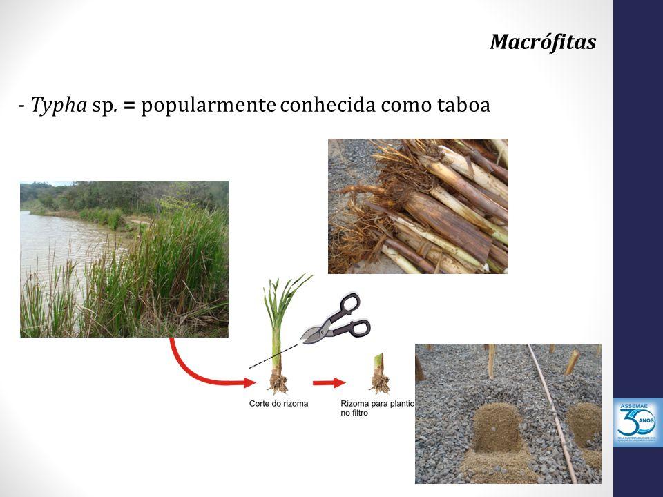 Macrófitas - Typha sp. = popularmente conhecida como taboa