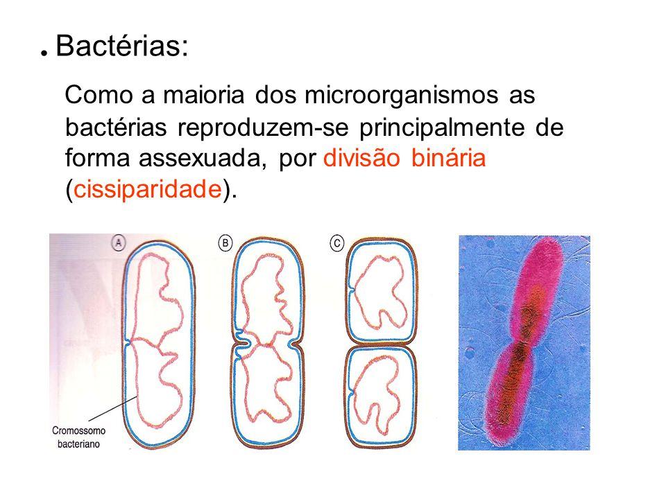 . Bactérias: Como a maioria dos microorganismos as bactérias reproduzem-se principalmente de forma assexuada, por divisão binária (cissiparidade).