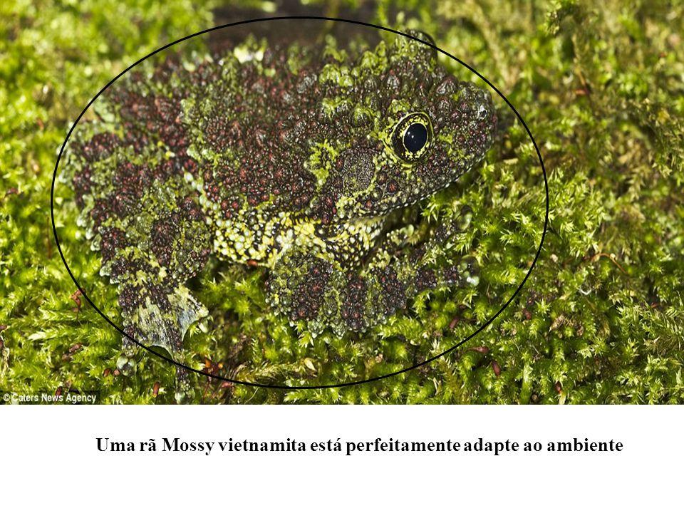 Uma rã Mossy vietnamita está perfeitamente adapte ao ambiente