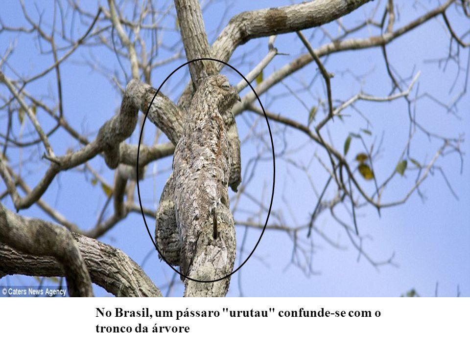 No Brasil, um pássaro urutau confunde-se com o tronco da árvore
