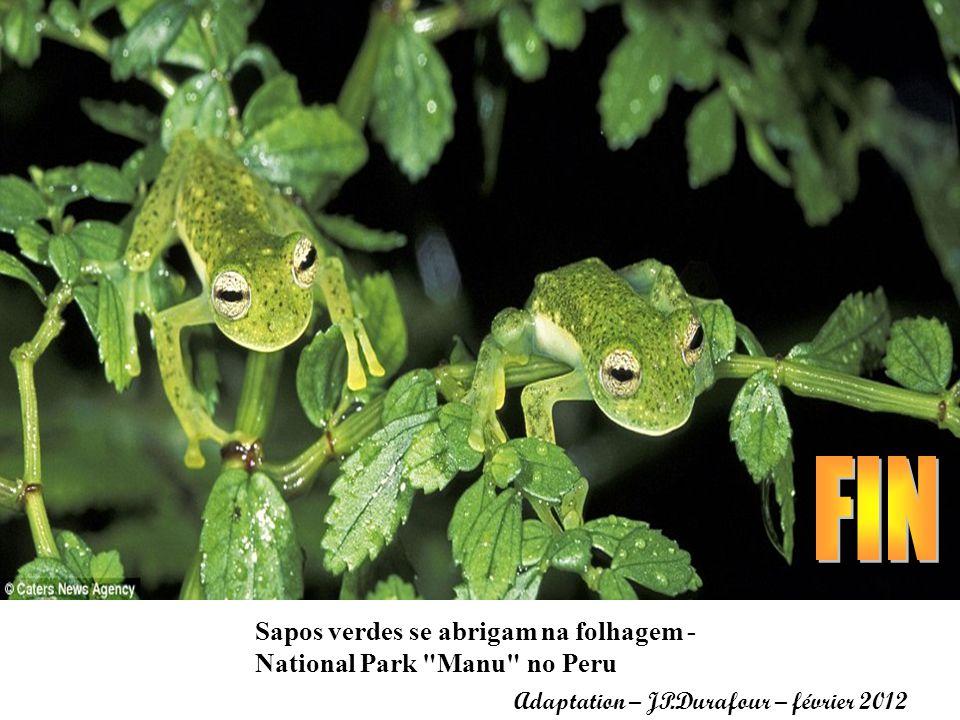 FIN Sapos verdes se abrigam na folhagem - National Park Manu no Peru