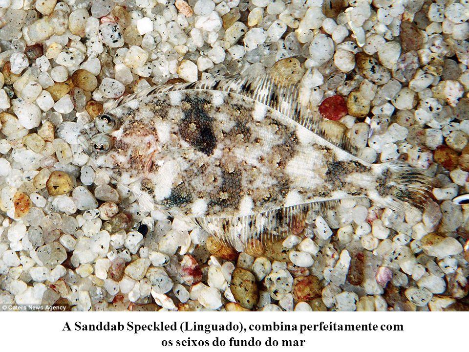 A Sanddab Speckled (Linguado), combina perfeitamente com os seixos do fundo do mar