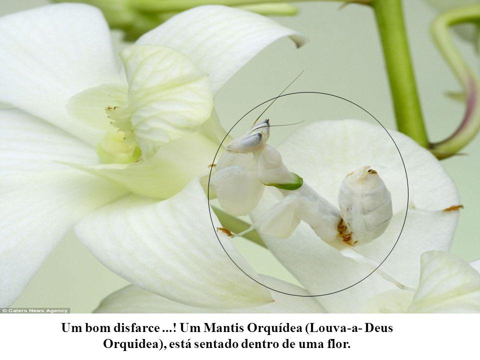Um bom disfarce ...! Um Mantis Orquídea (Louva-a- Deus Orquidea), está sentado dentro de uma flor.