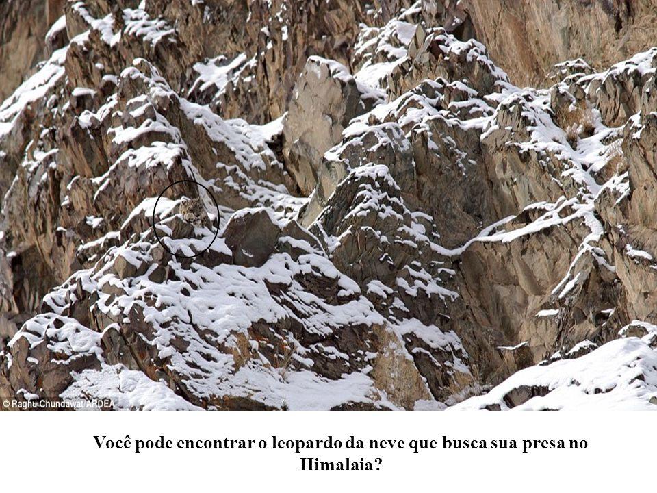Você pode encontrar o leopardo da neve que busca sua presa no Himalaia