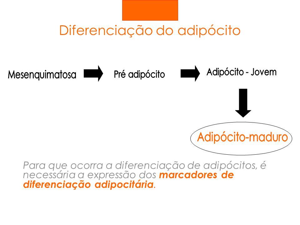 Diferenciação do adipócito