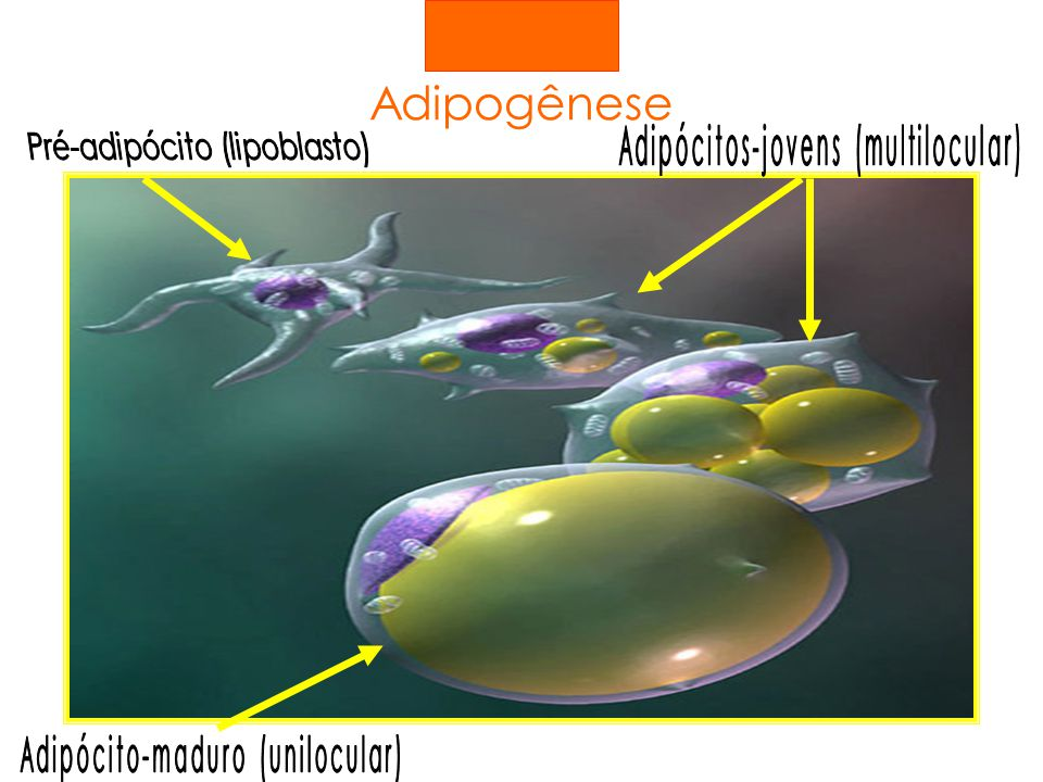 Adipogênese Adipócitos-jovens (multilocular)
