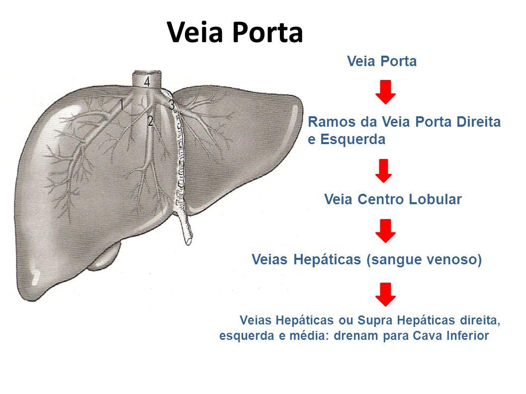 Veia Porta Veia Porta. Ramos da Veia Porta Direita e Esquerda. Veia Centro Lobular. Veias Hepáticas (sangue venoso)