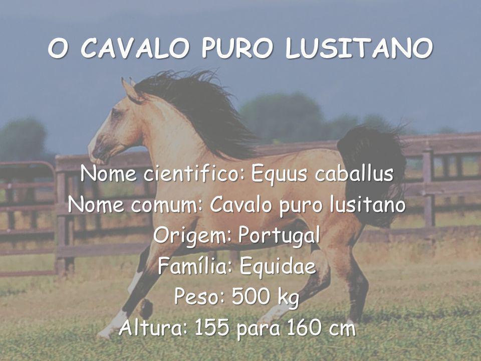 O CAVALO PURO LUSITANO Nome cientifico: Equus caballus