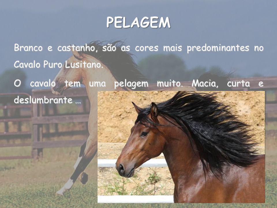 PELAGEM Branco e castanho, são as cores mais predominantes no Cavalo Puro Lusitano.