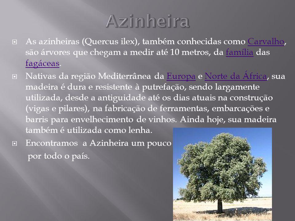 Azinheira As azinheiras (Quercus ilex), também conhecidas como Carvalho, são árvores que chegam a medir até 10 metros, da família das fagáceas.