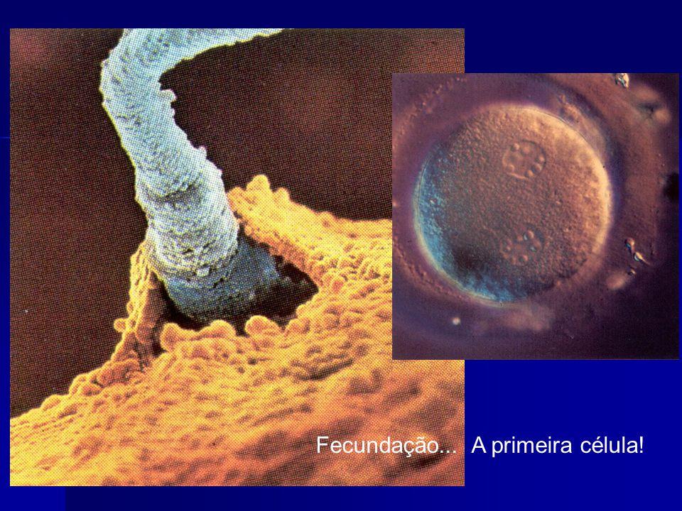 Fecundação... A primeira célula!