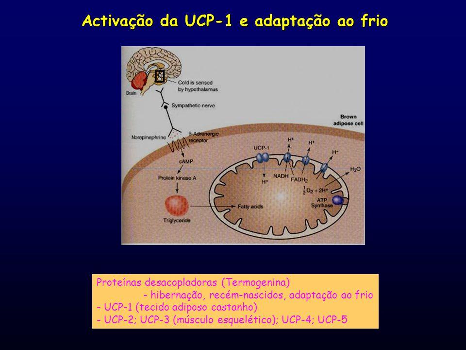Activação da UCP-1 e adaptação ao frio