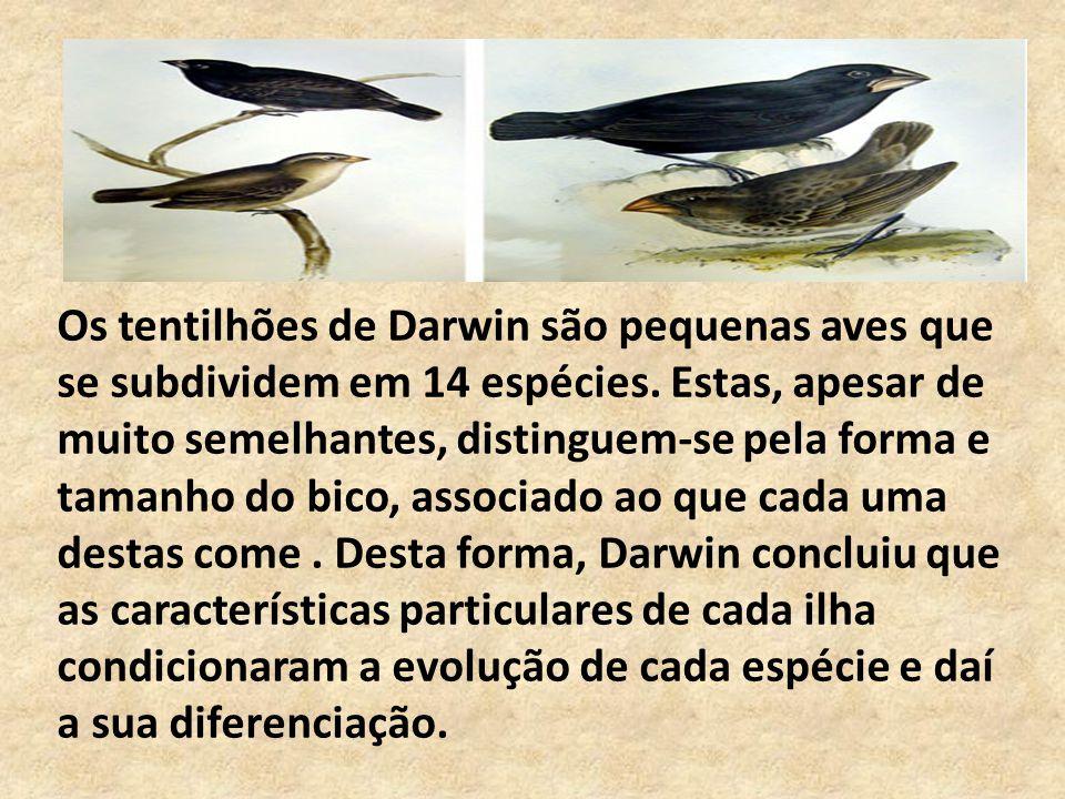 Os tentilhões de Darwin são pequenas aves que se subdividem em 14 espécies.