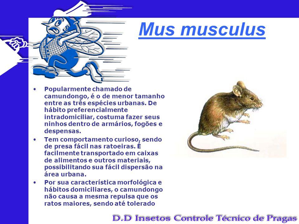Mus musculus