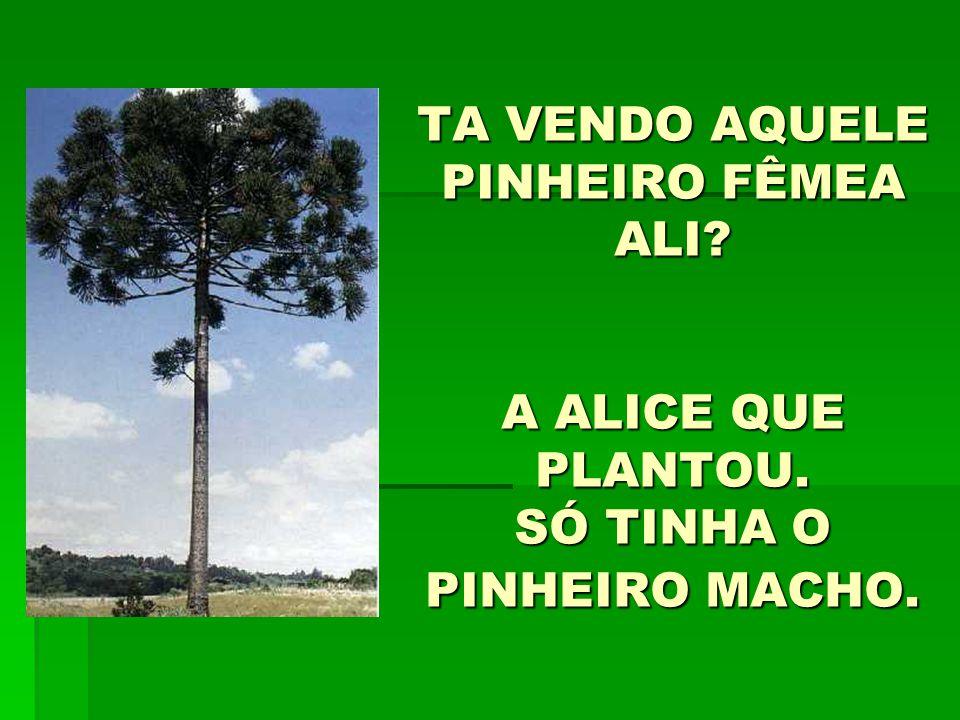 TA VENDO AQUELE PINHEIRO FÊMEA ALI. A ALICE QUE PLANTOU
