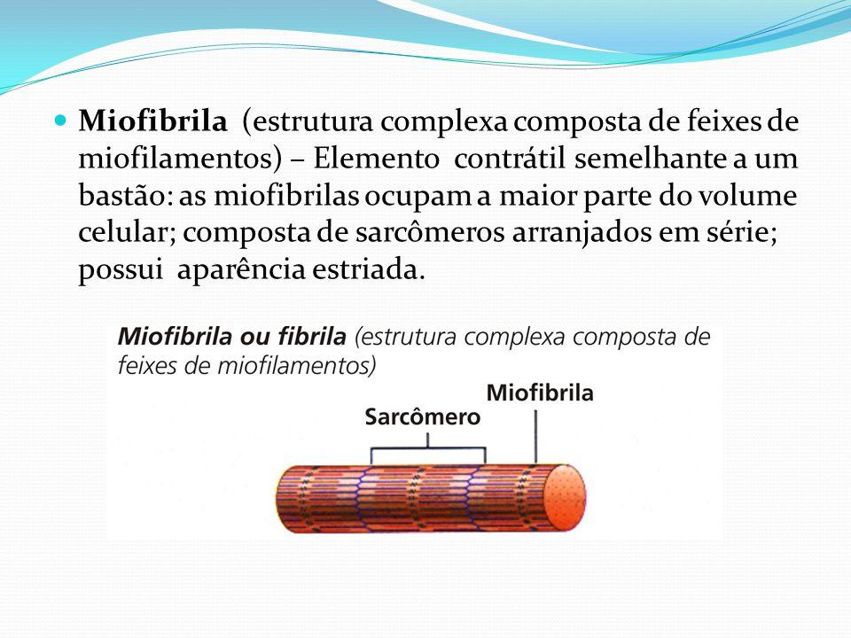 Miofibrila (estrutura complexa composta de feixes de miofilamentos) – Elemento contrátil semelhante a um bastão: as miofibrilas ocupam a maior parte do volume celular; composta de sarcômeros arranjados em série; possui aparência estriada.