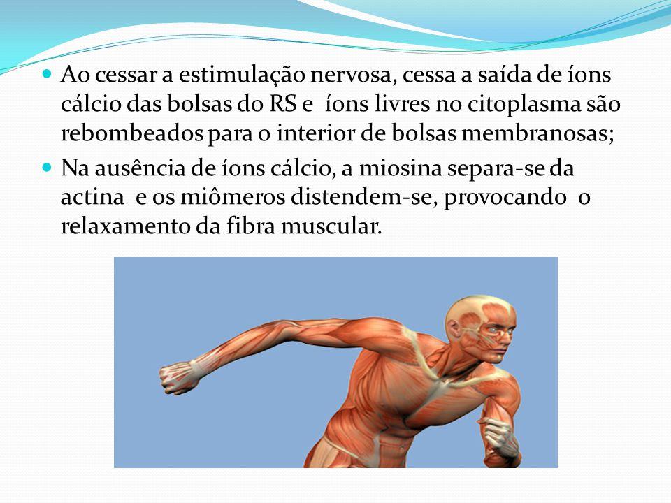 Ao cessar a estimulação nervosa, cessa a saída de íons cálcio das bolsas do RS e íons livres no citoplasma são rebombeados para o interior de bolsas membranosas;