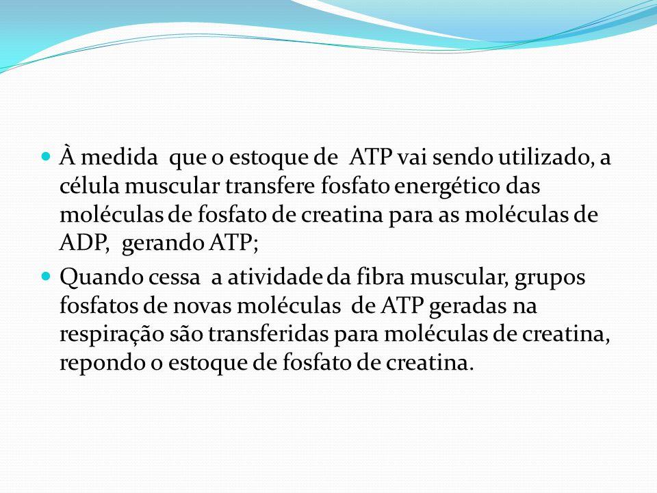 À medida que o estoque de ATP vai sendo utilizado, a célula muscular transfere fosfato energético das moléculas de fosfato de creatina para as moléculas de ADP, gerando ATP;