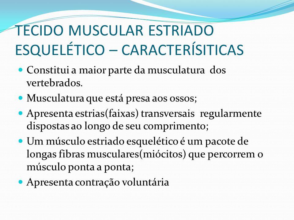 TECIDO MUSCULAR ESTRIADO ESQUELÉTICO – CARACTERÍSITICAS