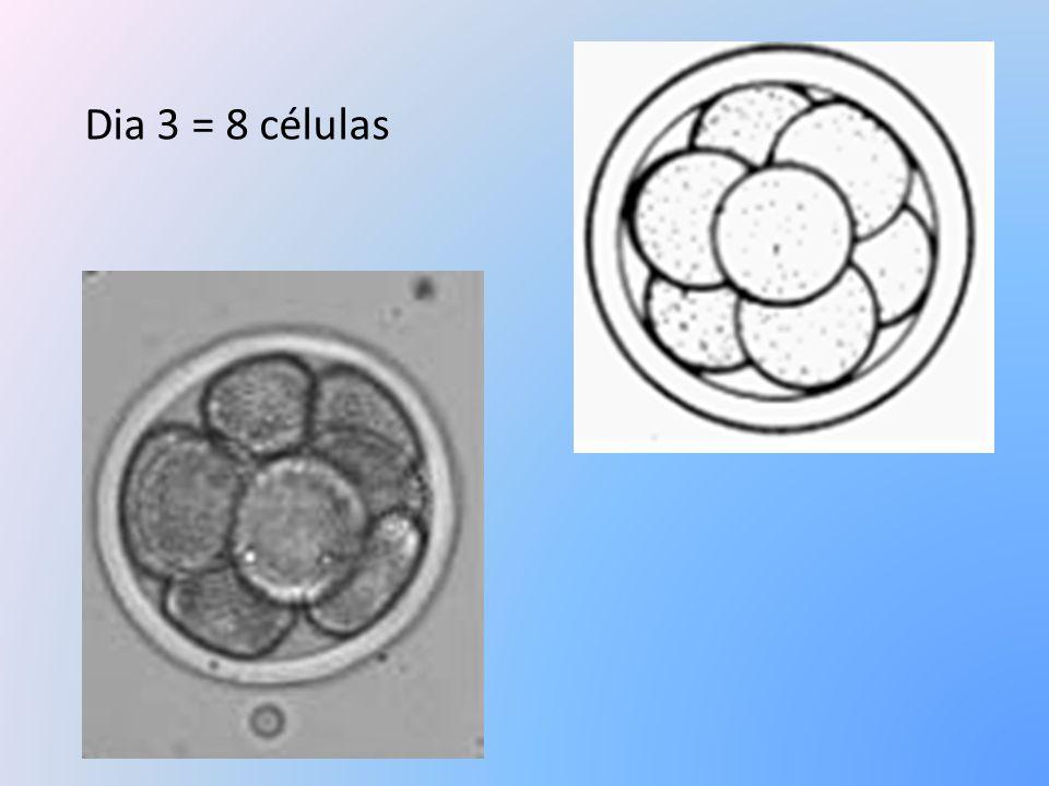 Dia 3 = 8 células