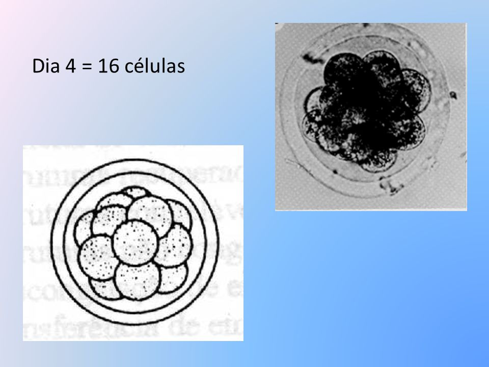 Dia 4 = 16 células