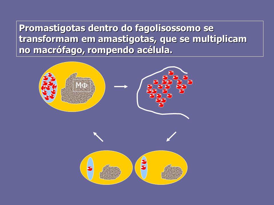 Promastigotas dentro do fagolisossomo se transformam em amastigotas, que se multiplicam no macrófago, rompendo acélula.