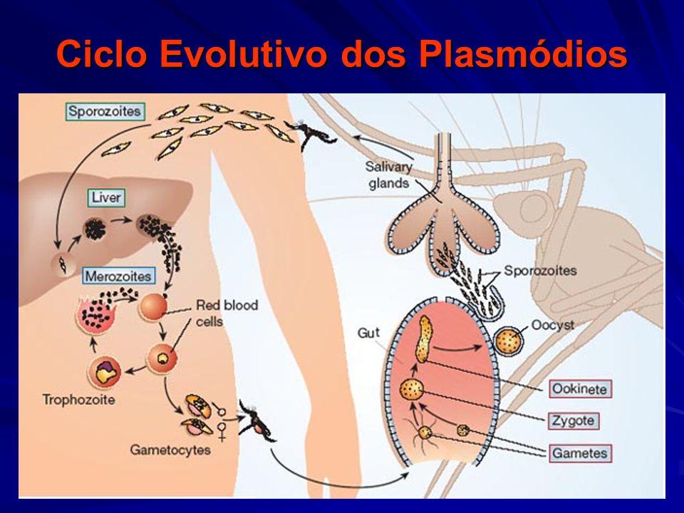 Ciclo Evolutivo dos Plasmódios