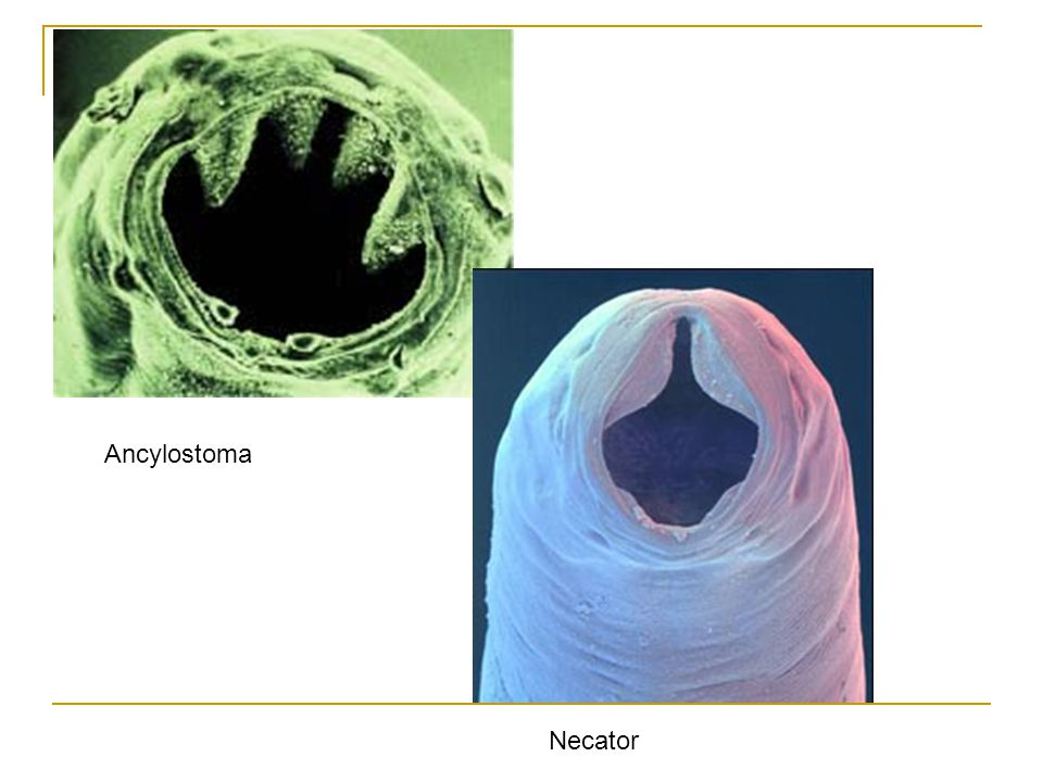 Ancylostoma Necator