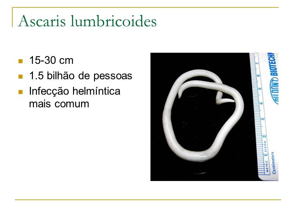 Ascaris lumbricoides 15-30 cm 1.5 bilhão de pessoas