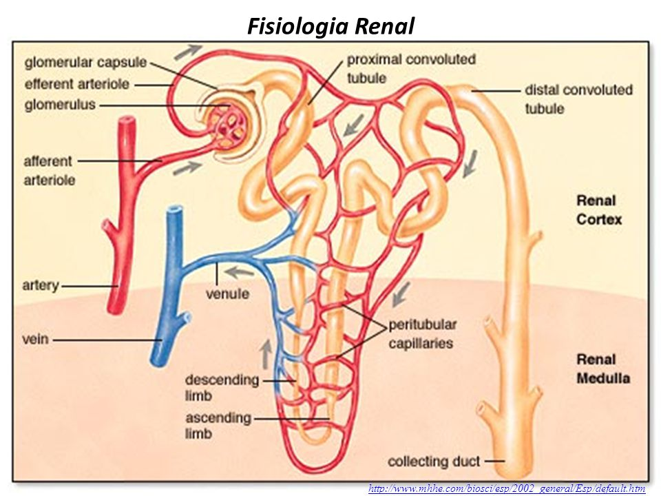 Fisiologia Renal http://www.mhhe.com/biosci/esp/2002_general/Esp/default.htm
