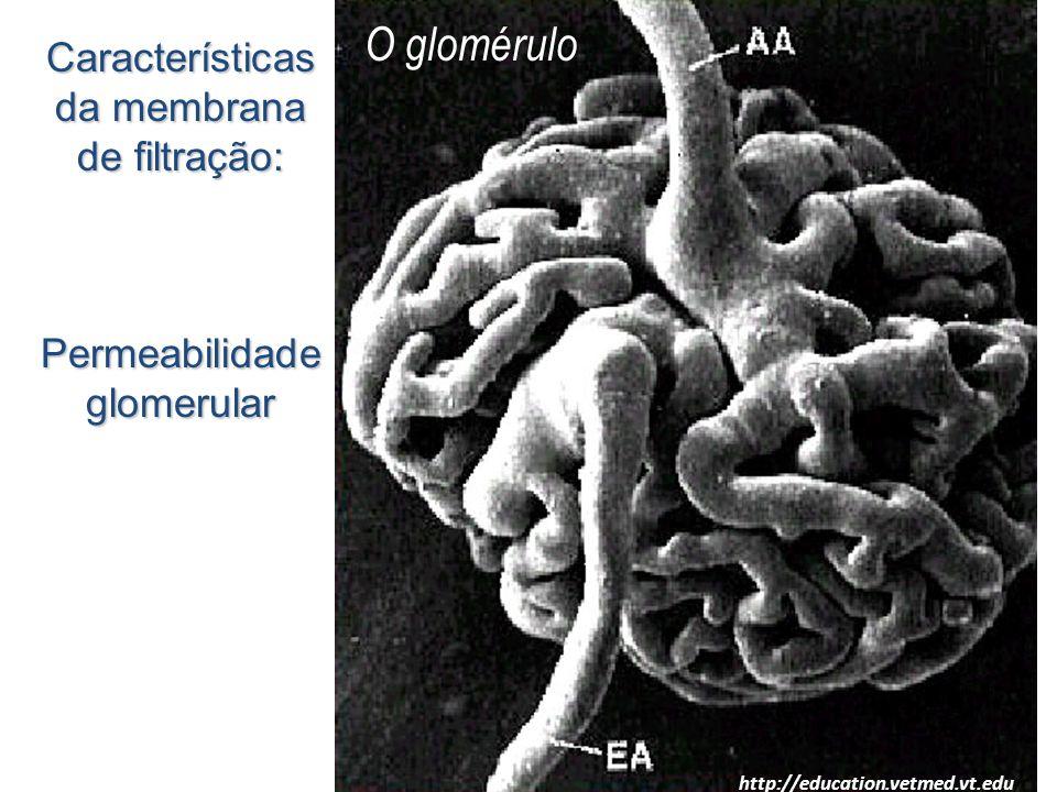 O glomérulo Características da membrana de filtração: