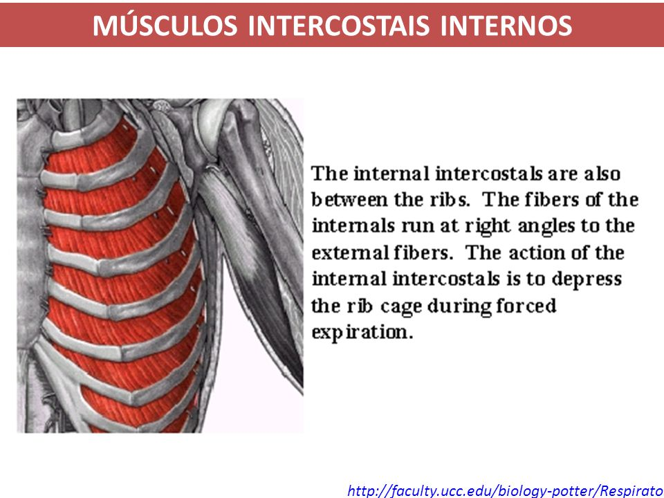 MÚSCULOS INTERCOSTAIS INTERNOS