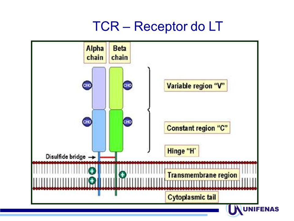 TCR – Receptor do LT