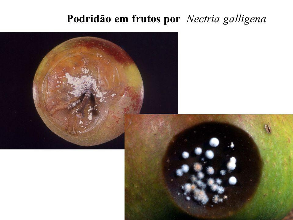 Podridão em frutos por Nectria galligena
