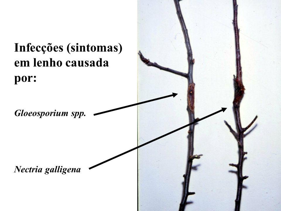 Infecções (sintomas) em lenho causada por: Gloeosporium spp.