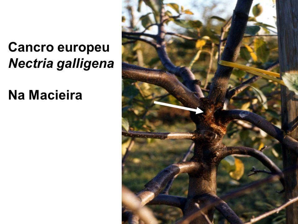 Cancro europeu Nectria galligena Na Macieira