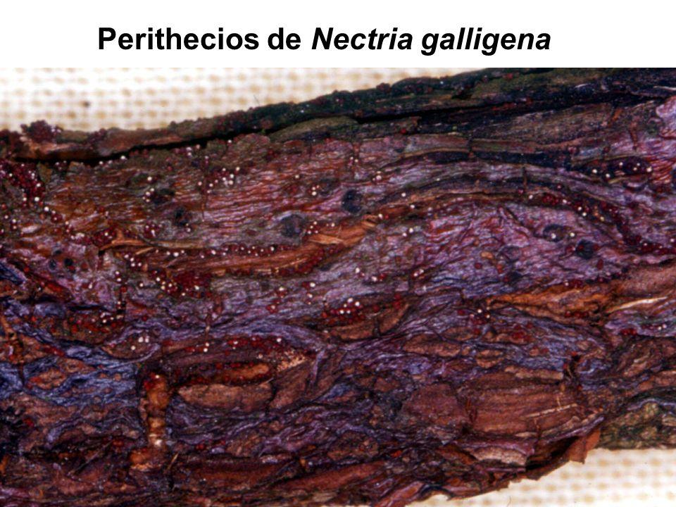 Perithecios de Nectria galligena