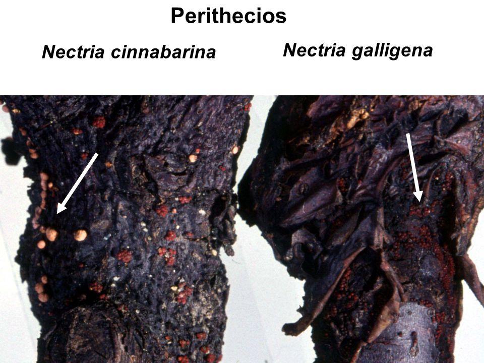 Perithecios Nectria cinnabarina Nectria galligena