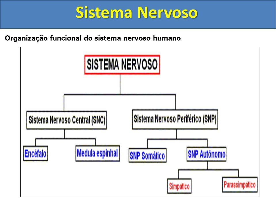 Sistema Nervoso Organização funcional do sistema nervoso humano
