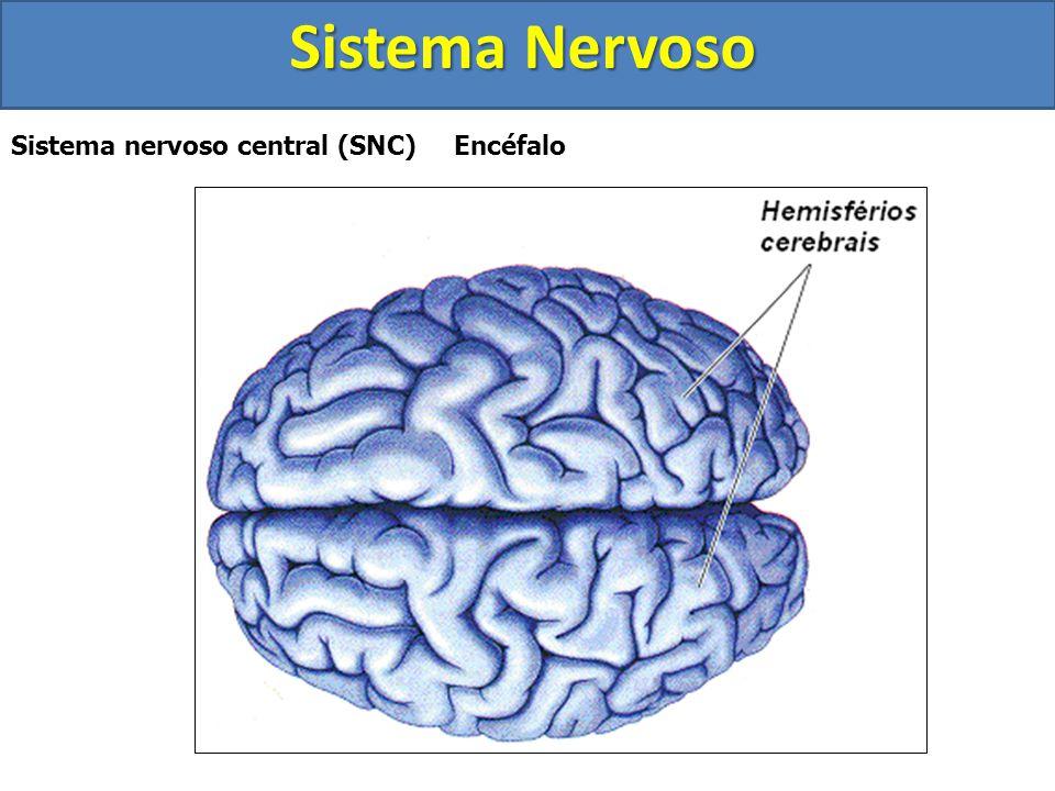 Sistema Nervoso Sistema nervoso central (SNC) Encéfalo