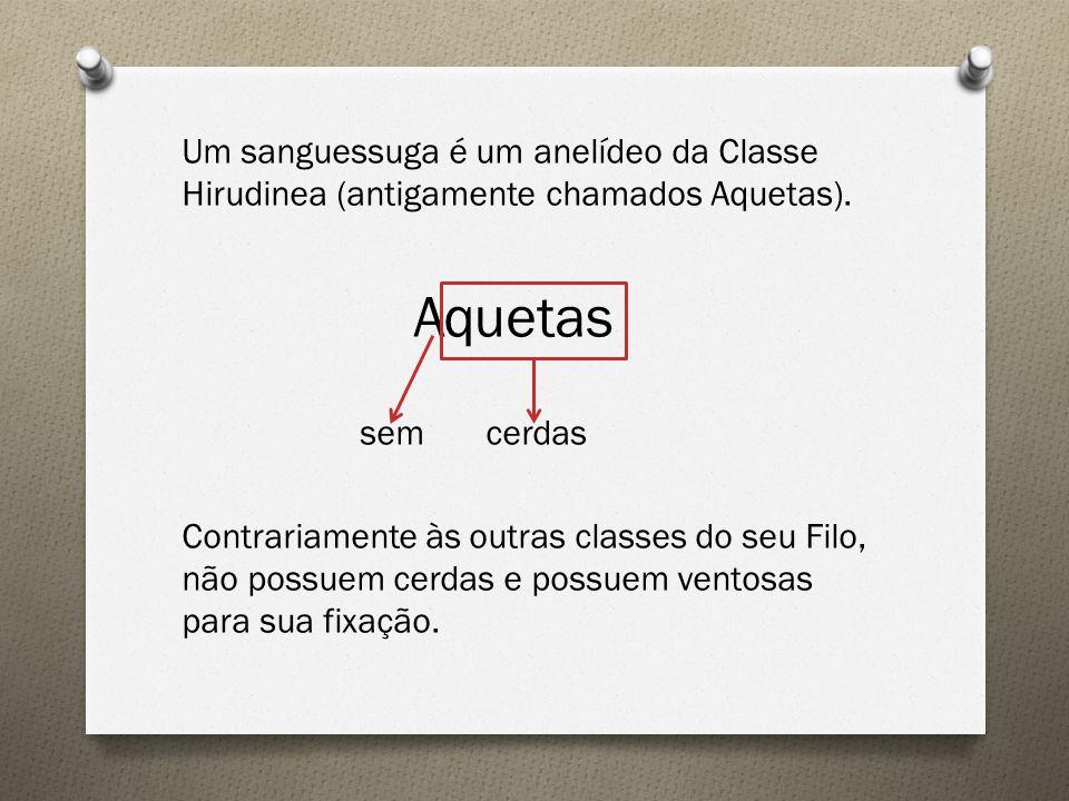 Um sanguessuga é um anelídeo da Classe Hirudinea (antigamente chamados Aquetas).