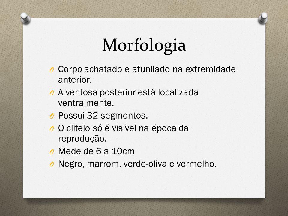 Morfologia Corpo achatado e afunilado na extremidade anterior.