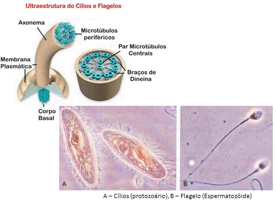 A – Cílios (protozoário), B – Flagelo (Espermatozóide)